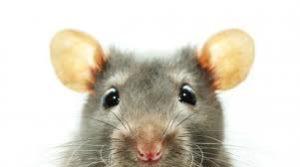 rat-images-6